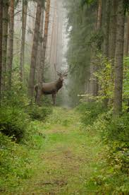 big buck in forest